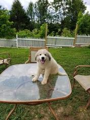 Great Pyrenees Dog For Adoption in FLINTVILLE, TN, USA