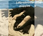 Small Photo #8 Labradoodle-Labrador Retriever Mix Puppy For Sale in MYRTLE BEACH, SC, USA