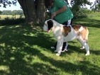 Saint Bernard Puppy For Sale in PROLE, Iowa,
