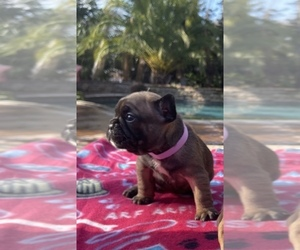 French Bulldog Puppy for Sale in SACRAMENTO, California USA