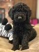 Labradoodle Puppy For Sale in MEDFORD, OR