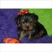 Yorkshire Terrier Puppy For Sale in TUCSON, AZ