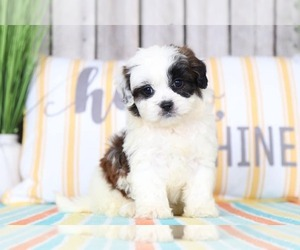 View Ad: Shih-Poo Puppy for Sale near Ohio, MOUNT VERNON