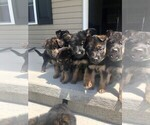 Small Photo #4 German Shepherd Dog Puppy For Sale in ANDERSONVILLE, TN, USA