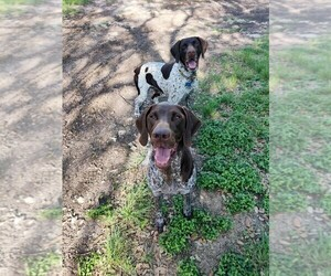 Mother of the German Shorthaired Pointer puppies born on 06/22/2021