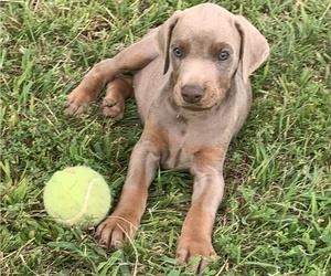 Doberman Pinscher Puppy for sale in CHESTER, AR, USA