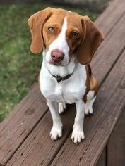 Medium Beagle