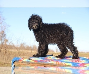 Goldendoodle Puppy for Sale in UNION CITY, Tennessee USA