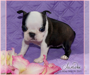 Boston Terrier Puppy for sale in TRUSSVILLE, AL, USA