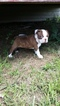 Boston Terrier Puppy For Sale in HUMANSVILLE, MO, USA