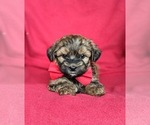 Small #3 Poodle (Miniature)-Shorkie Tzu Mix