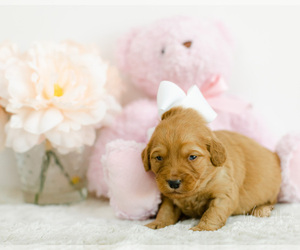 Medium Goldendoodle (Miniature)