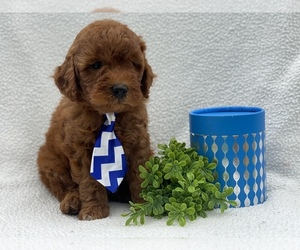 Goldendoodle-Poodle (Miniature) Mix Puppy for Sale in CEDAR LANE, Pennsylvania USA