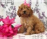 Small #12 Cavapoo-Poodle (Miniature) Mix