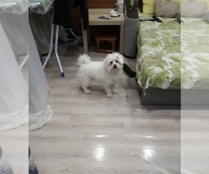 Maltese Puppy for sale in BROOKLYN, NY, USA