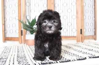 Lhasa-Poo Puppy for sale in NAPLES, FL, USA