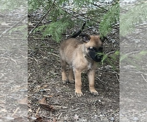 Belgian Malinois Puppy for sale in BLACK MOUNTAIN, NC, USA