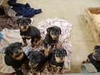 Rottweiler Puppy For Sale in WINDHAM, New Hampshire,