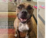 Small #210 American Pit Bull Terrier Mix