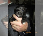 Puppy 1 Poodle (Toy)-Schnauzer (Miniature) Mix