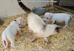 Small Photo #78 Dogo Argentino Puppy For Sale in PINEVILLE, MO, USA