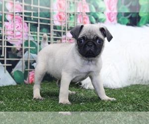 Pug Puppy for sale in MARIETTA, GA, USA