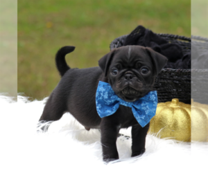 Pug Puppy for sale in FREDERICKSBRG, PA, USA