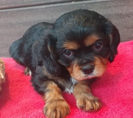 Cavalier King Charles Spaniel Puppy For Sale in WEST BLOOMFIELD, MI, USA