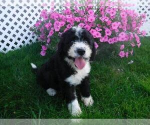 Sheepadoodle Puppy for sale in FREDERICKSBG, OH, USA