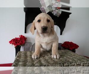 Labrador Retriever Dog for Adoption in KOKOMO, Indiana USA