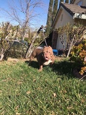 View Ad: American Bully Puppy for Sale near California, ANTIOCH, USA