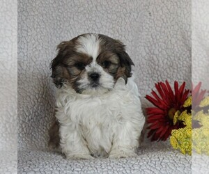 Shih Tzu Puppy for sale in NARVON, PA, USA