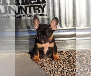 French Bulldog Puppy for Sale in MURRIETA, California USA