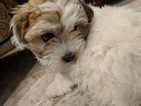 Coton de Tulear Puppy For Sale in YELM, Washington,