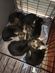 German Shepherd Dog Puppy For Sale in ROSWELL, GA, USA
