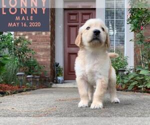 Golden Retriever Puppy for sale in MISSOURI CITY, TX, USA