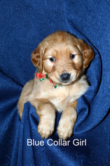 Golden Retriever Puppy For Sale in UNION, MO, USA