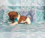 Small #10 Jack Russell Terrier