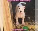 Small Photo #123 Dogo Argentino Puppy For Sale in PINEVILLE, MO, USA