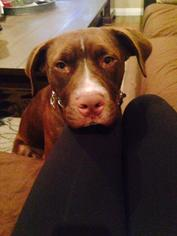Captain (NEEDS A FOSTER!) - Labrador Retriever / Terrier / Mixed Dog For Adoption