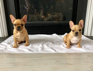 french bulldog puppies nc french bulldog puppies and dogs for sale in burgaw nc usa 8055