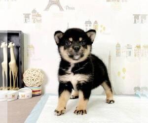 Shiba Inu Dog for Adoption in IRVINE, California USA
