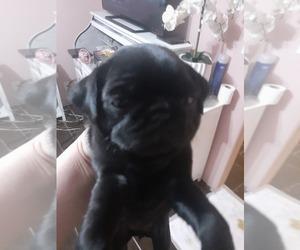 Pug Puppy for sale in DINUBA, CA, USA