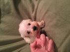Schnauzer (Miniature) Puppy For Sale in OLLA, Louisiana,