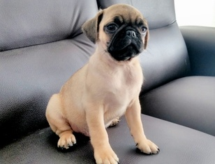 Pug Puppy For Sale in SAN DIEGO, CA