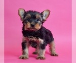 Puppy 5 Yorkshire Terrier