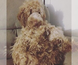Father of the Labradoodle puppies born on 11/08/2019