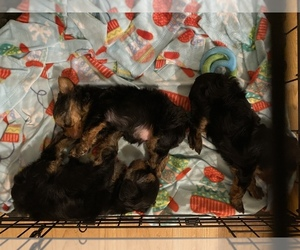 Yorkshire Terrier Puppy for sale in HANFORD, CA, USA