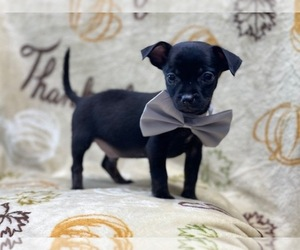 Chihuahua Puppy for sale in LAKELAND, FL, USA