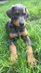 Blue Doberman puppy
